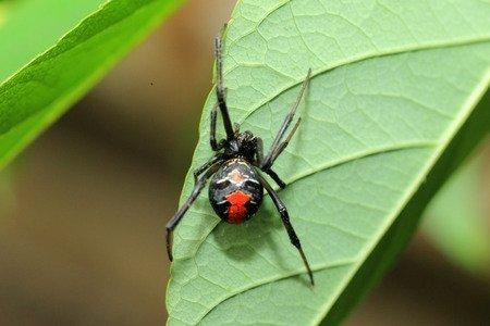 Leggi la notizia di misterloto su http://www.animali-velenosi.it/ragni/ragno-dal-dorso-rosso/