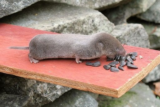 Leggi la notizia di misterloto su http://www.animali-velenosi.it/mammiferi/toporagno-coda-corta-americano/