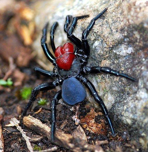 Leggi la notizia di misterloto su http://www.animali-velenosi.it/ragni/missulena-occatoria-ragno-topo/