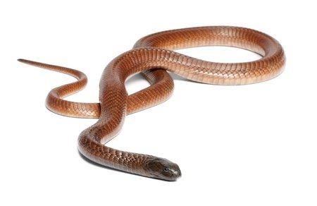 Leggi la notizia di misterloto su http://www.animali-velenosi.it/serpenti/cobra-egiziano-naja-haje/