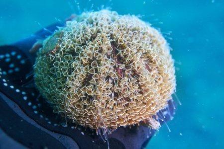 Leggi la notizia di misterloto su http://www.animali-velenosi.it/animali-acquatici/riccio-fiore-toxopneustes-pileolus/