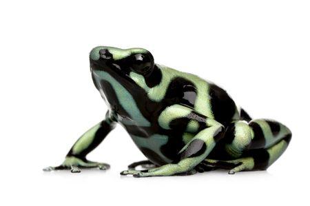 Leggi la notizia di misterloto su http://www.animali-velenosi.it/rane/dendrobates-auratus/