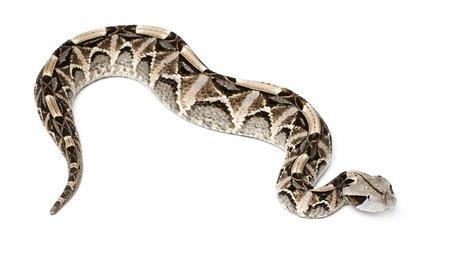 Leggi la notizia di misterloto su http://www.animali-velenosi.it/serpenti/vipera-del-gabon-bitis-gabonica/