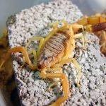 Animali più velenosi del mondo - 9° posto Scorpione giallo - Leiurus quinquestriatus