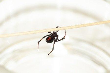 Latrodectus mactans, vedova nera