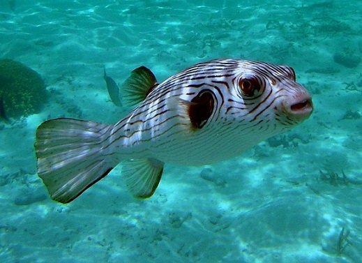 Pesce palla Arothron manilensis