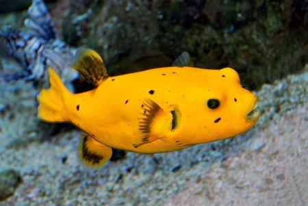 Pesce palla - Arothron nigropunctatus