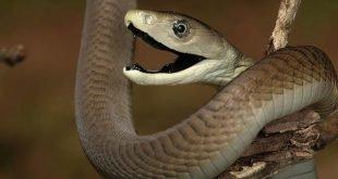 Mamba nero - Dendroaspis polylepis