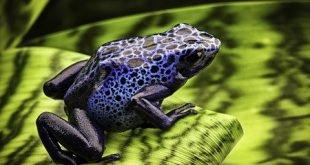 Rana blu - Dendrobates tinctorius