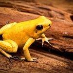 Animali più velenosi del mondo - 1° posto Rana Freccia - Phyllobates terribilis