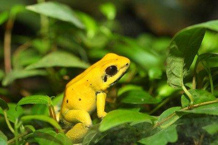 Rana Freccia - Phyllobates terribilis