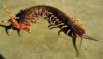 Scolopendra gigante - Centopiedi dell'Amazzonia