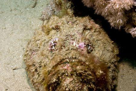 Pesce pietra