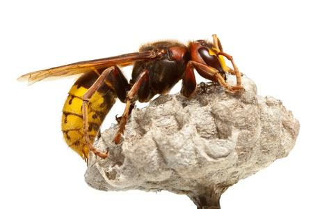 calabrone vespa crabro animali velenosi. Black Bedroom Furniture Sets. Home Design Ideas