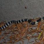 Animali più velenosi del mondo - 7° posto Krait cinese – Bungarus multicinctus