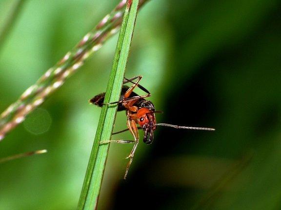 Formica di fuoco - Solenopsis invicta