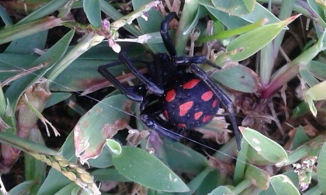 Malmignatta, Latrodectus tredecimguttatus
