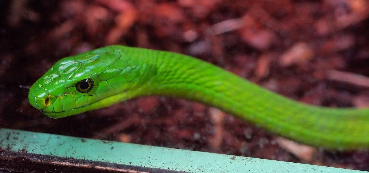 Mamba verde - Dendroaspis angusticeps