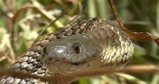 Serpente tigre, Notechis scutatus