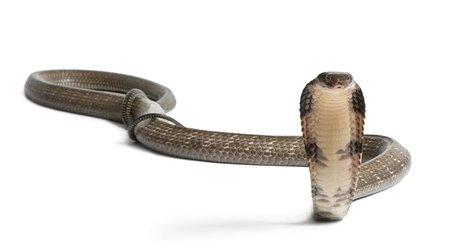 Cobra reale - Ophiophagus hannah