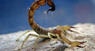 Androctonus australis - Scorpione Giallo a Coda Grossa