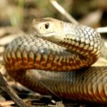 Animali più velenosi del mondo - 6° posto Serpente bruno orientale - Pseudonaja textilis