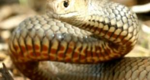 Serpente bruno orientale