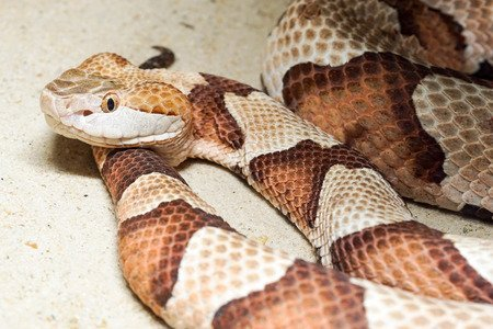 Serpente testa di rame - Copperhead