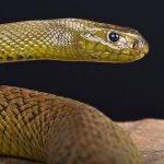 Animali più velenosi del mondo - 5° posto Taipan dell'interno - Oxyuranus microlepidotus
