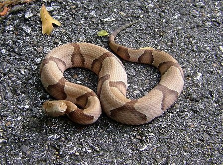 Serpente Testa di Rame