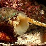 Animali più velenosi del mondo - 2° posto Conus geographus, lumaca di mare assassina