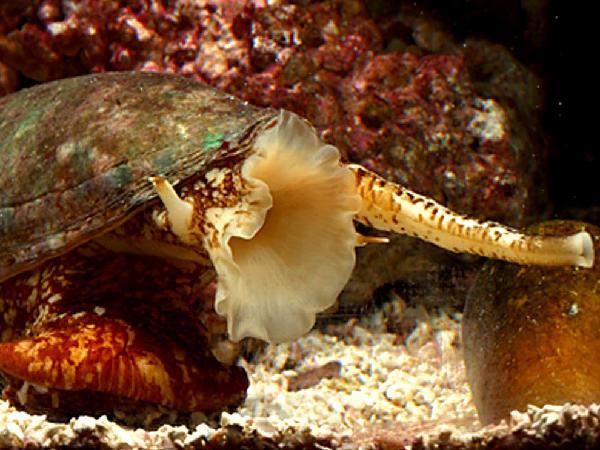 Conus geographus, lumaca di mare assassina