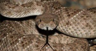 Crotalo amantino, serpente a sonagli