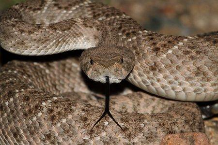 Serpente a sonagli nel water