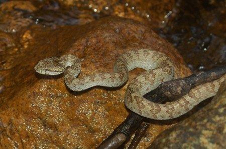 Echis carinatus - Vipera rostrata