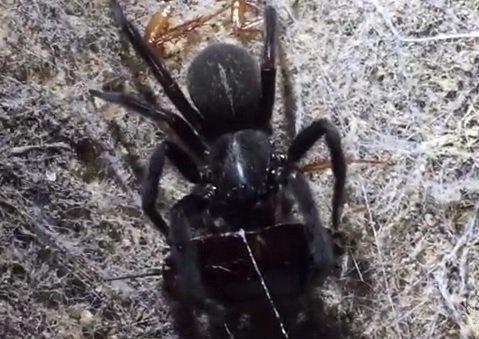 Atrax robustus, ragno della ragnatela a imbuto di Sidney