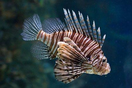 Pesce scorpione - Pterois-volitans
