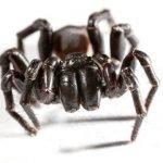 Animali più velenosi del mondo - 9° posto Atrax robustus, ragno della ragnatela a imbuto di Sidney