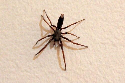 Ragno dalla coda bianca - Lampona cylindrata