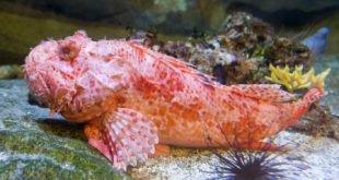 Pesce scorfano rosso - Scorpaena scrofa