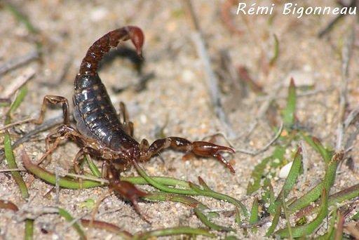 Cercophonius squama - Scorpione della foresta