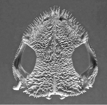 Aparasphenodon brunoi