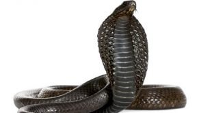Cobra egiziano - Naja haje