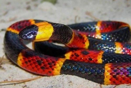 Serpente corallo - Micrurus fulvius