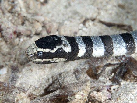 Serpente di mare Laticauda colubrina