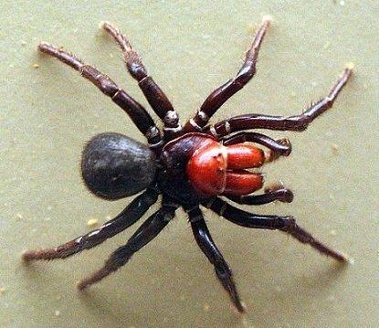 Missulena occatoria - Ragno topo dalla testa rossa