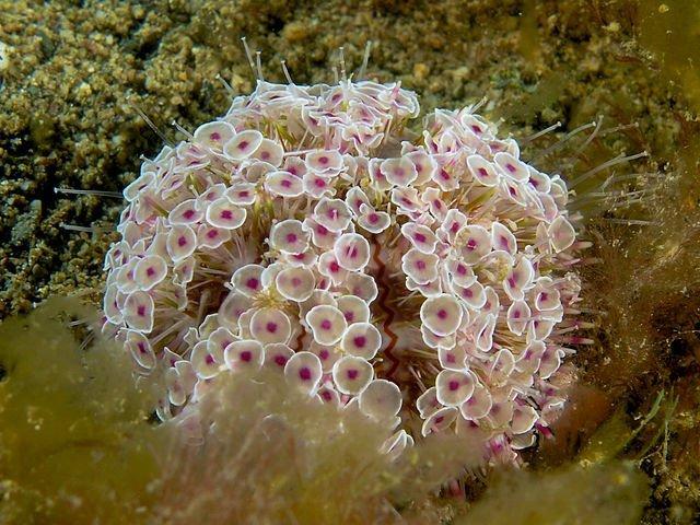 Riccio fiore - Toxopneustes pileolus