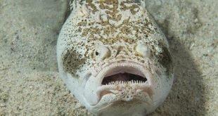 Pesce prete - Uranoscopus scaber