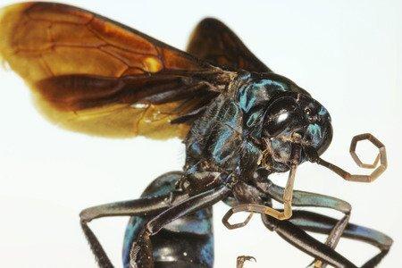 Vespa falco della tarantola - Pepsis formosa pationii