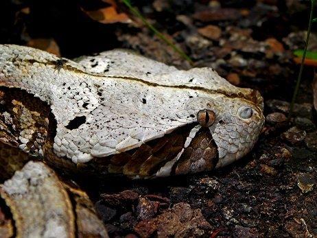 Vipera del Gabon - Bitis gabonica
